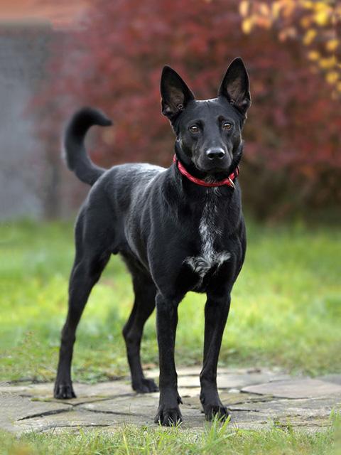 Ваш самый добрый компаньон Молодой красивый пес Уголек в добрые руки